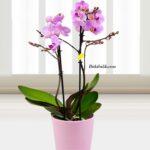 Orkide Kaç Günde Bir Su Verilir