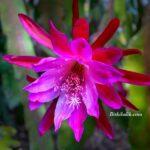 Orkide Kaktüs Çiçeği