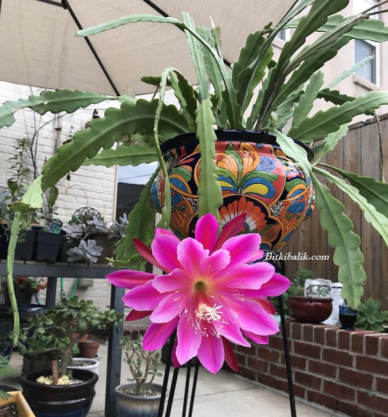 Orkide Kaktüs