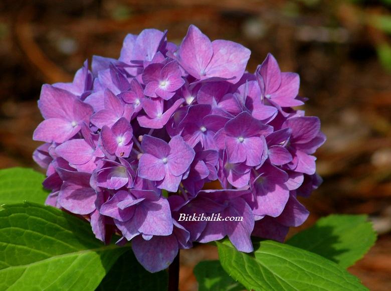 Ortanca Çiçeği Anlamı