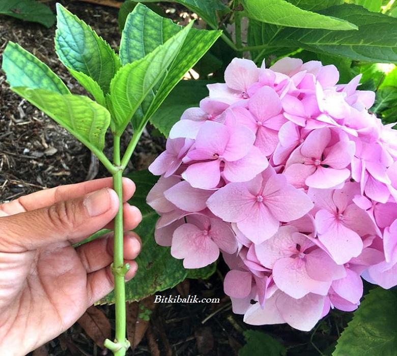 Ortanca Çiçeği Çoğaltma