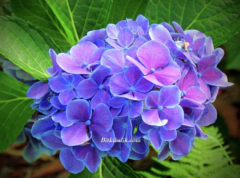 Ortanca Çiçeği Faydaları