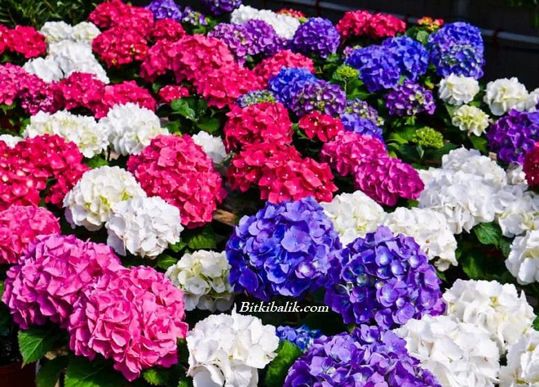 Ortanca Ne Zaman Çiçek Açar