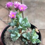 Oscularia Deltoides Pembe Buz Çiçeği Sukulent