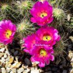 Pembe Çiçekli Çilek Kirpi Kaktüs