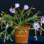 Pembe Çiçekli Cüce Paskalya Kaktüsü