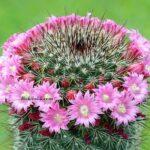 Pembe Çiçekli İğnelik Kaktüs