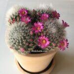 Pembe Çiçekli Mammillaria Laui Kaktüs
