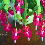 Pembe Çiçekli Yılbaşı Kaktüsü