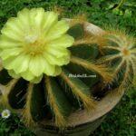 Sarı Çiçekli Balon Kaktüs