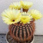 Sarı Çiçekli Schlosser Kaktüs