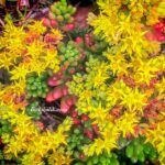 Sedum Rubrotinctum Sarı Çiçek Açan Sukulent