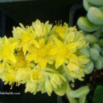 Sedum Treleasie Sarı Çiçekli Sukulent