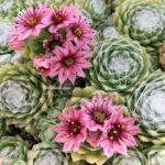 Sempervivum Arachnoideum Pembe Çiçekli Yünlü Sukulent