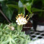 Senecio Radicans Muz Sukulent Çiçeği