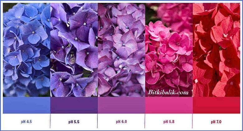 Toprağın pH Seviyesine Göre Ortanca Renk Değişimi