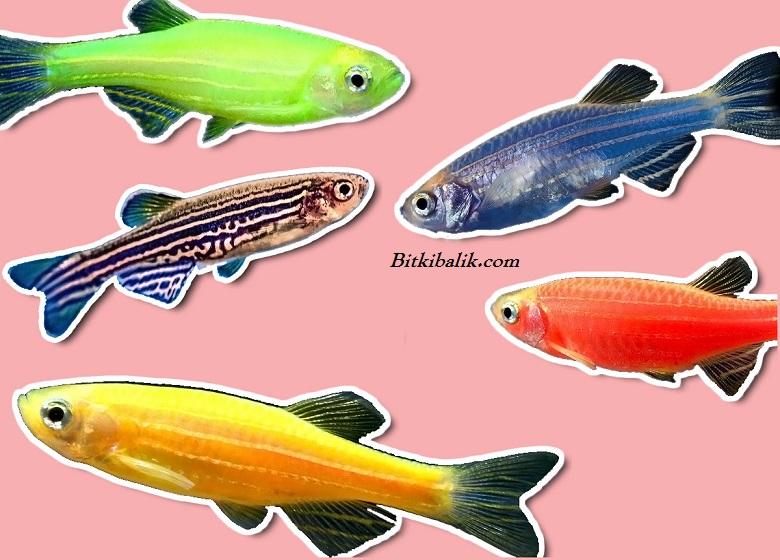 Zebra Danio Balığı